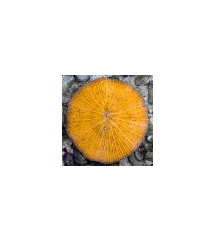 Cycloseris sp. orange