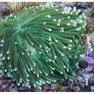 Heliofungia actiniformis green Australie