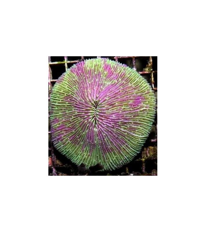 Fungia sp. pink edge