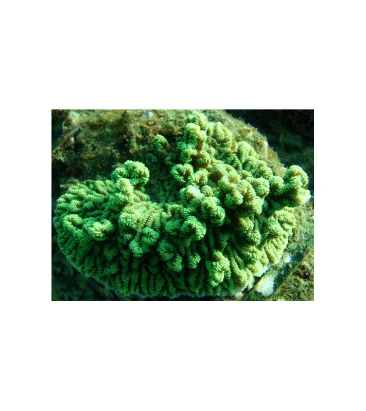 Merulina ampliata green