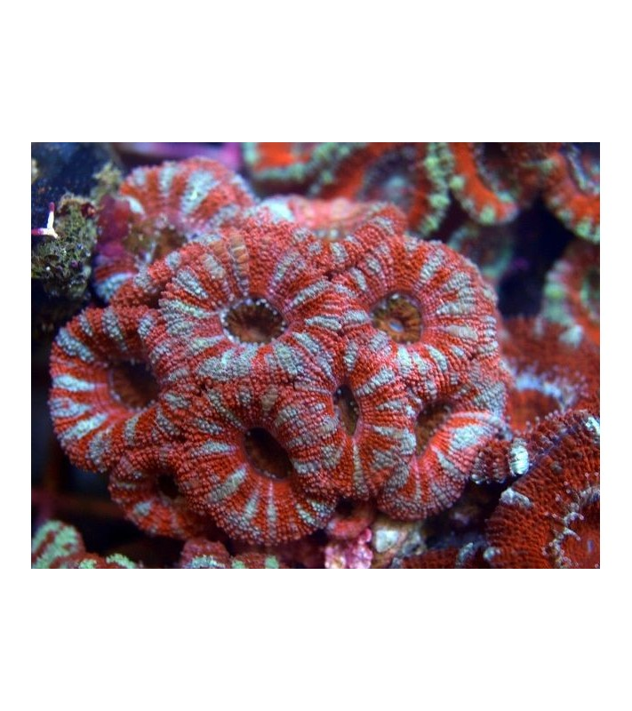 Acanthastrea lordhowensis red