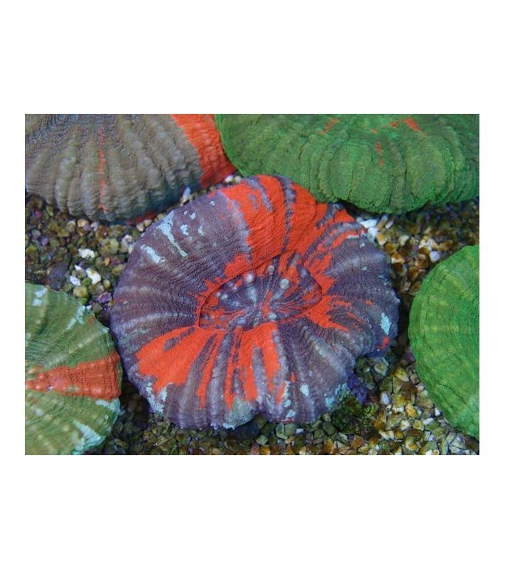 Scolymia australis Premium color
