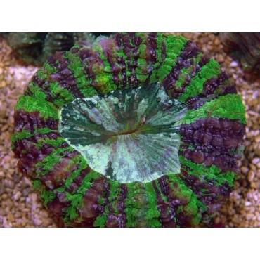 Acanthophyllia deshayesiana green