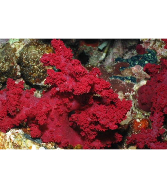 Dendronephthya sp. colored