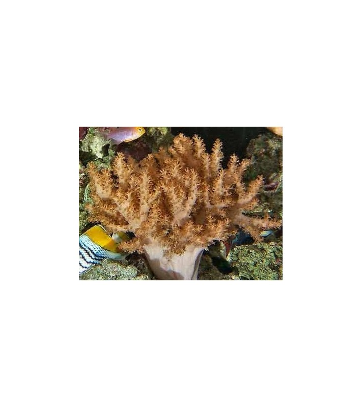 Alcyonium gold