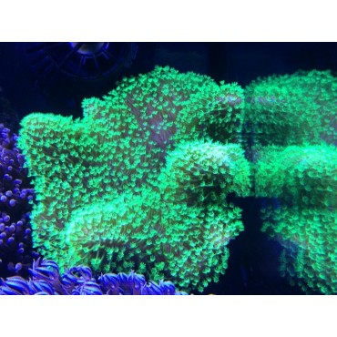 Sarcophyton sp. Fluor Green