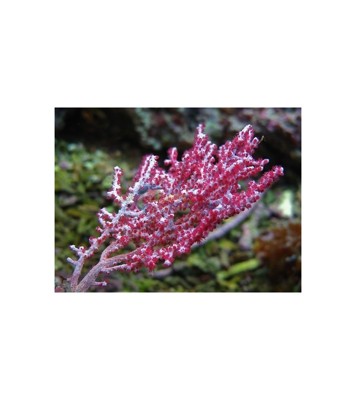 Gorgonia sp. colored