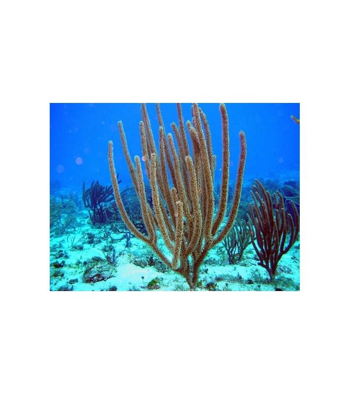 Plexaurella sp.