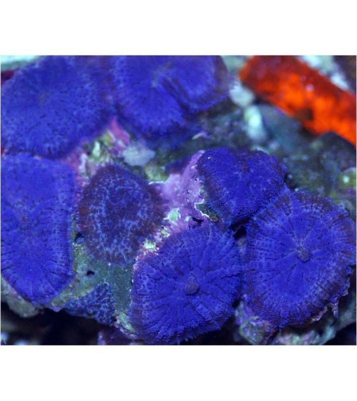 Rhodactis cf. inchoata blue