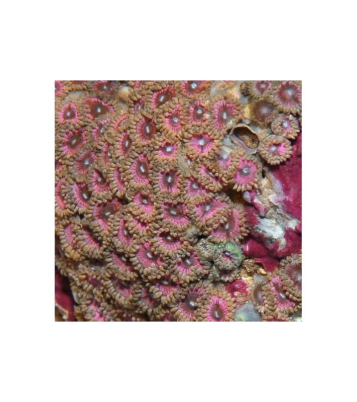 Zoanthus sp. pink