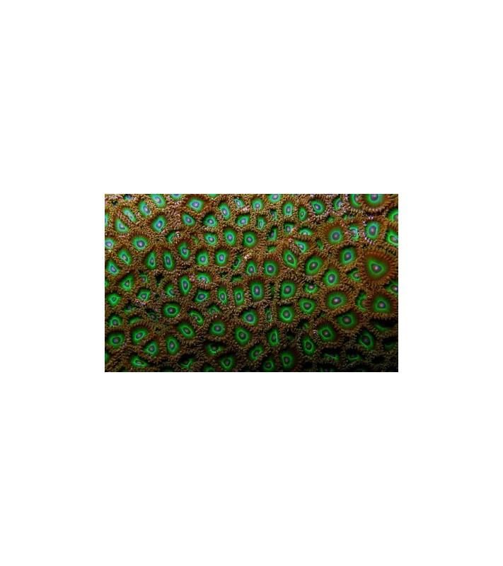 Zoanthus sp. green tip