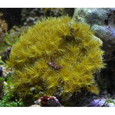 Parazoanthus gracilis yellow