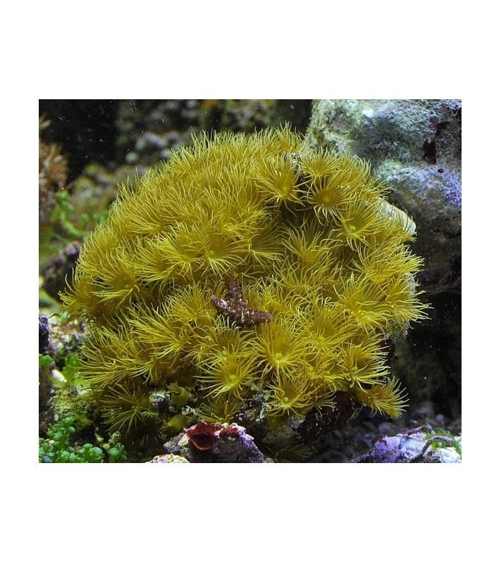 Parazoanthus gracilis yellow