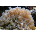 Xenia sp. pumping