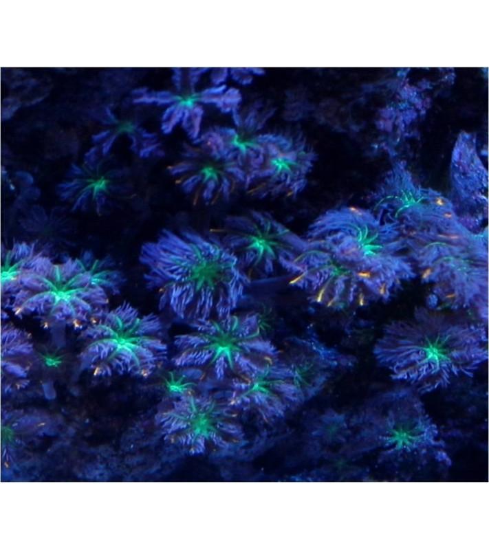 Clavularia sp. Green glove polyp