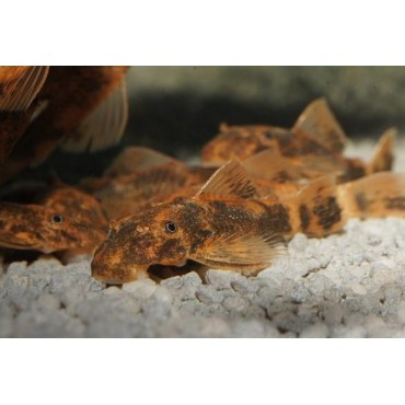 Ancistrus sp. Orange-Brown