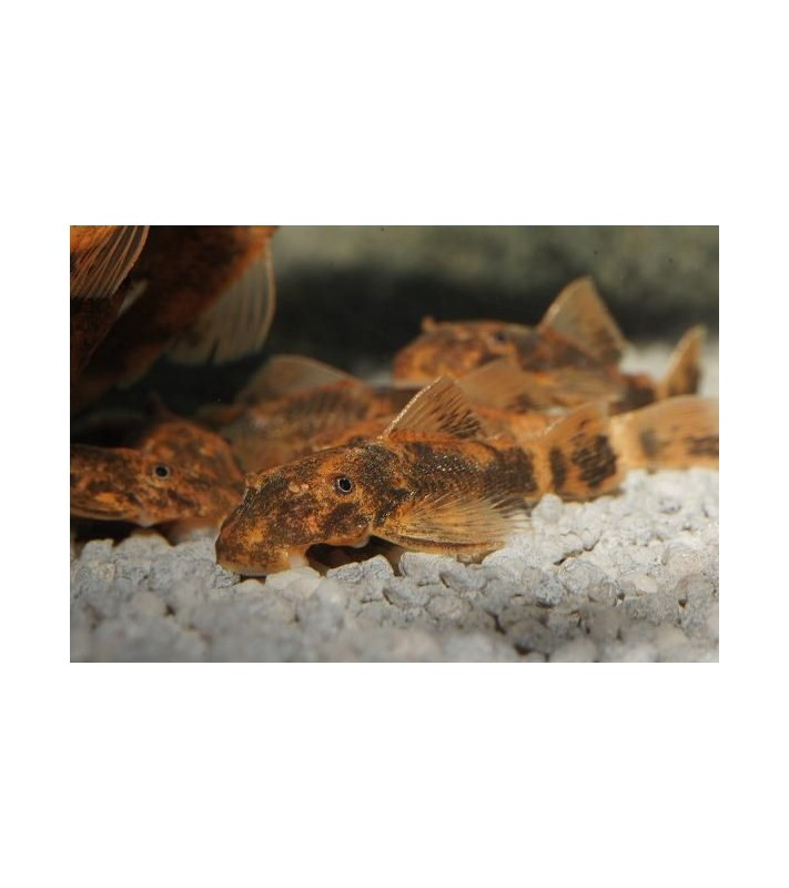 Ancistrus sp. Orange-Brown