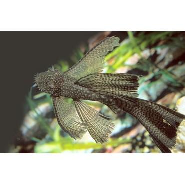 Ancistrus dolichopterus long fin