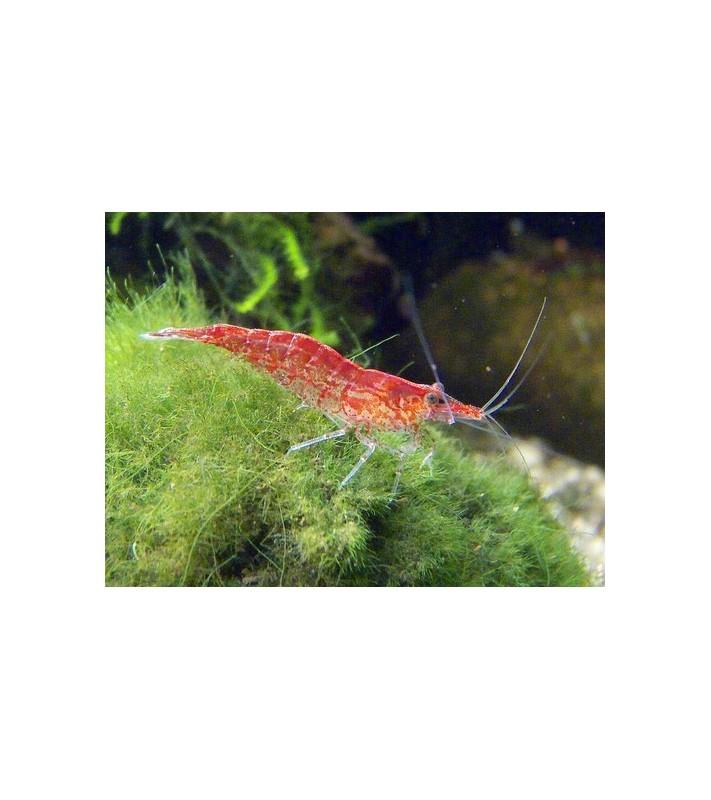Neocaridina davidi red cherry