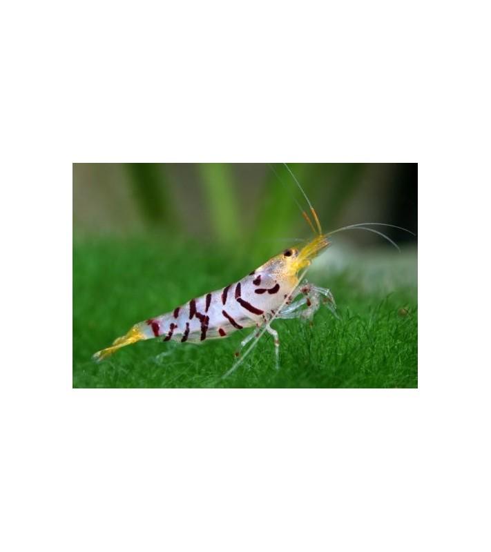 Neocaridina sp. Racoon Tiger