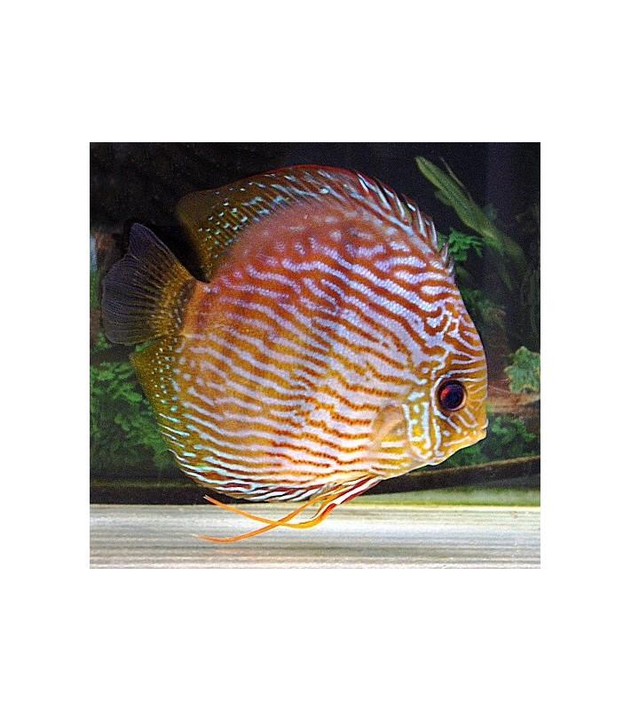Symphysodon discus Heckel Madeira