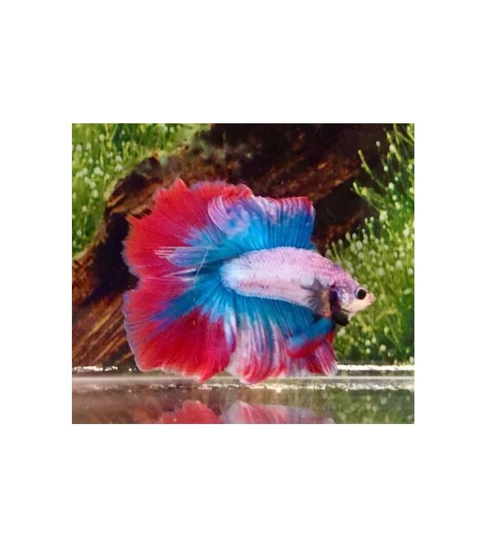 Betta splendens doubletail red blue white