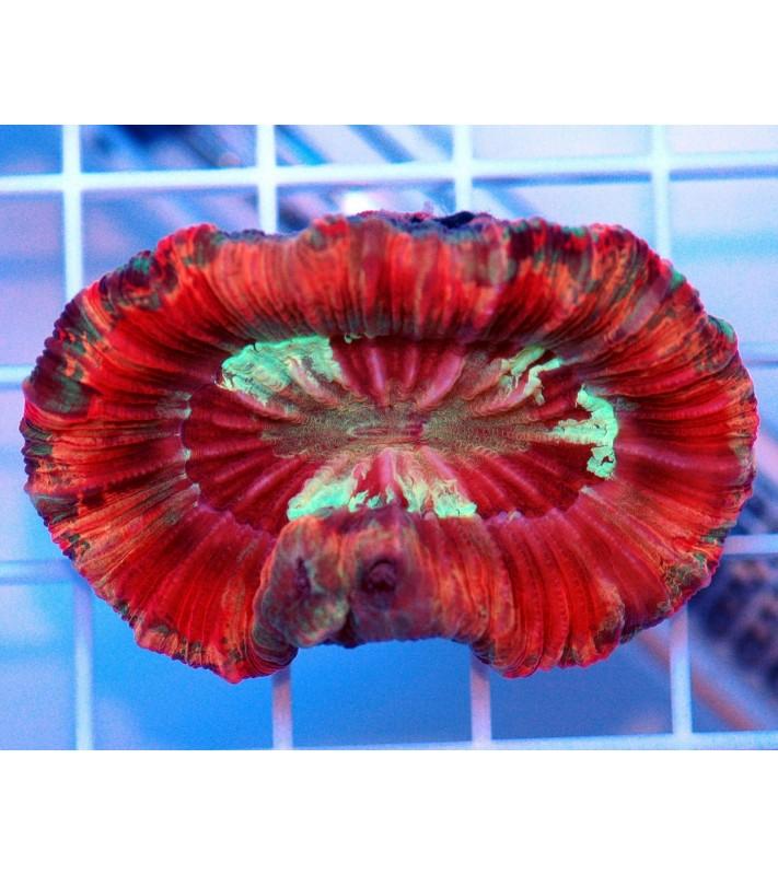 Trachyphyllia sp. red Rim Australie
