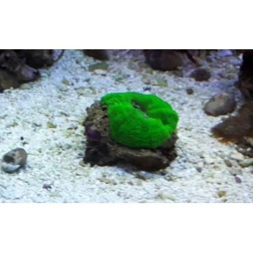 Cynarina lacrymalis green