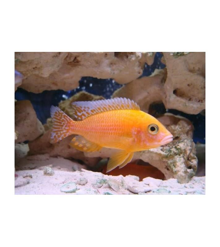 Aulonocara sp. Fire Fish Orange