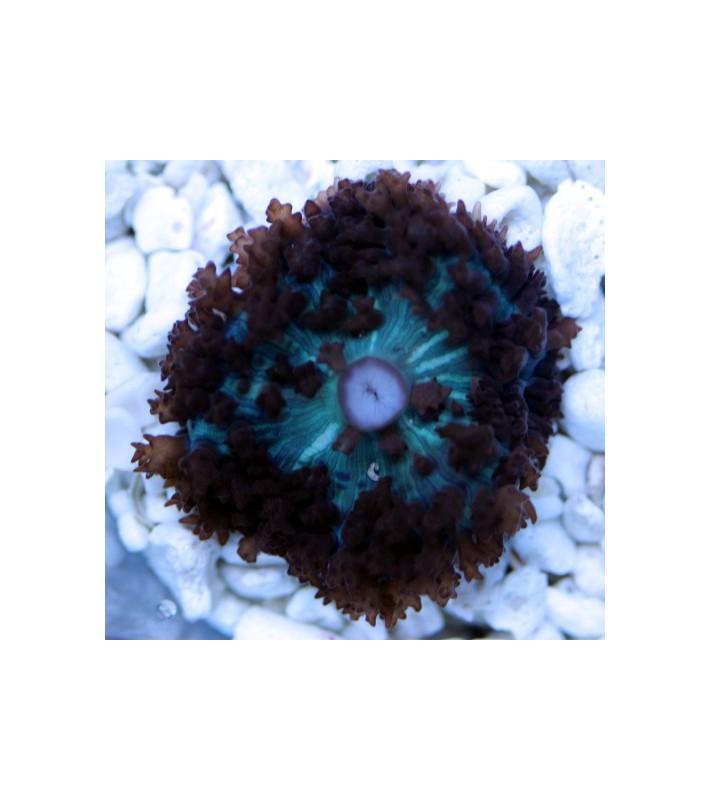 Rhodactis osculifera