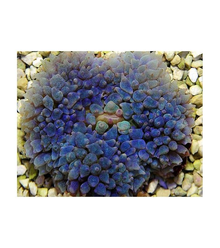 Rhodactis osculifera blue