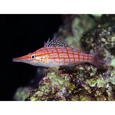 Oxycirrhites typus Maldives