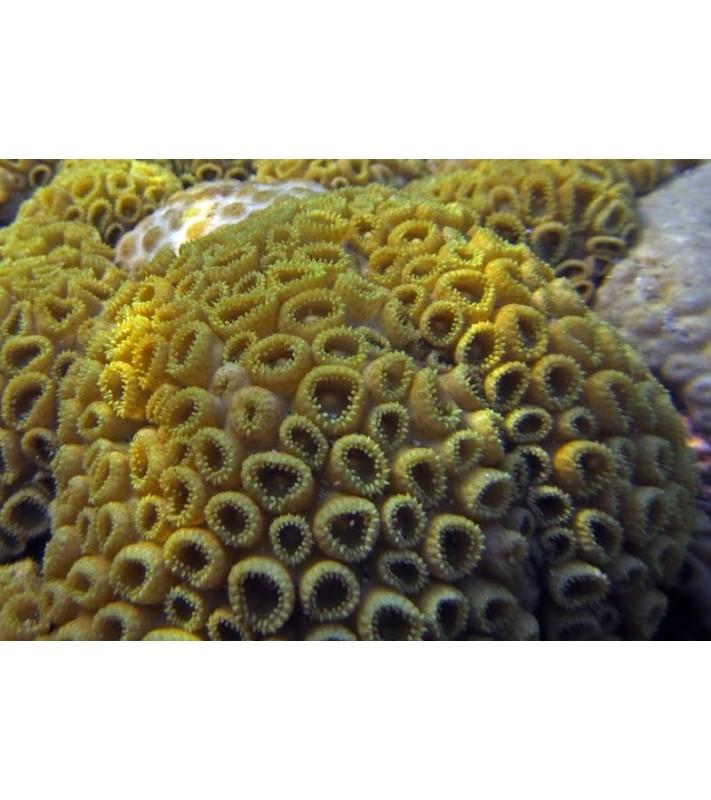 Palythoa caribaeorum