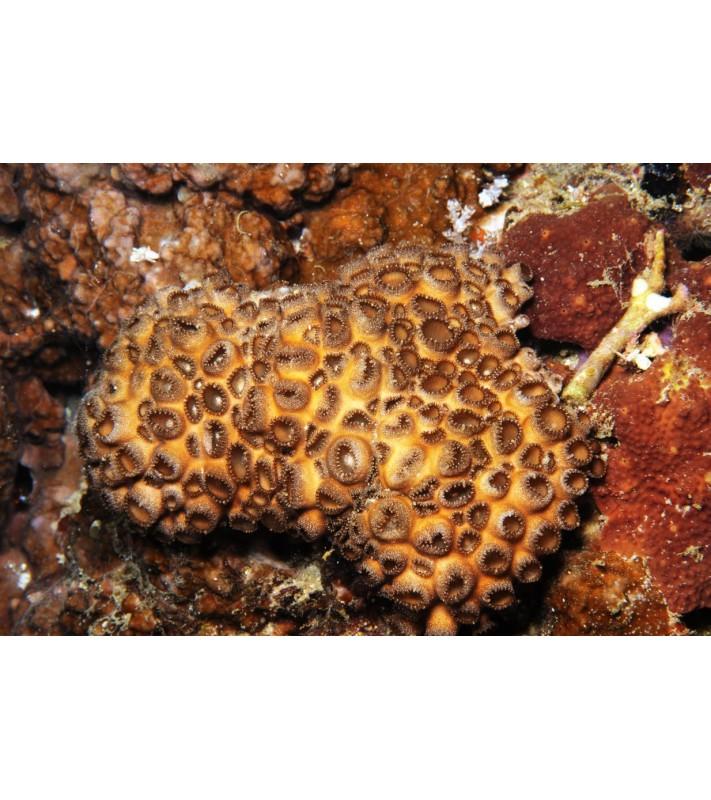 Palythoa caesia Indonesia