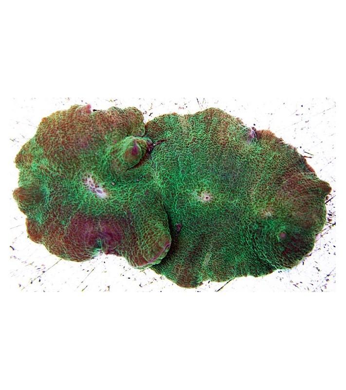 Rhodactis mussoides green