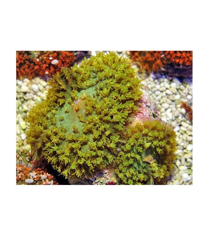 Rhodactis osculifera green
