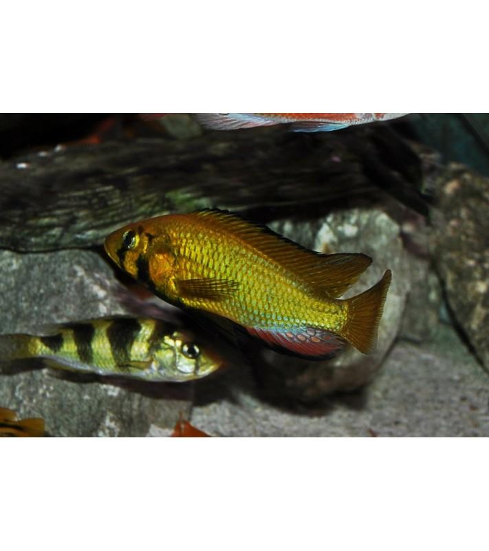 Astatoreochromis alluaudi Mwanza