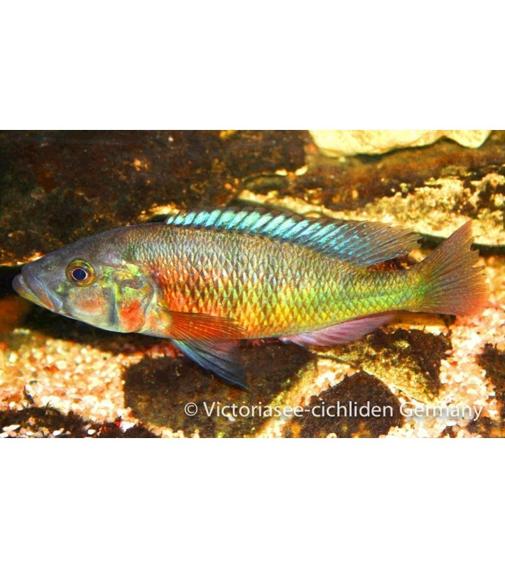 Harpagochromis spec. orange Rock Hunter