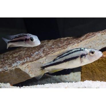 Harpagochromis vonlinnei Juma