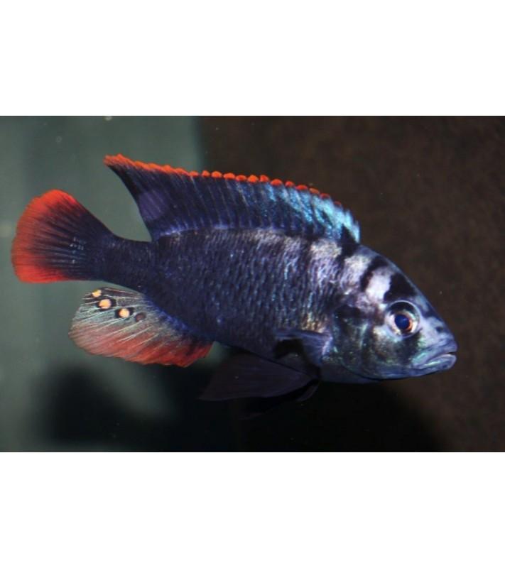 Neochromis Bihiru Scraper
