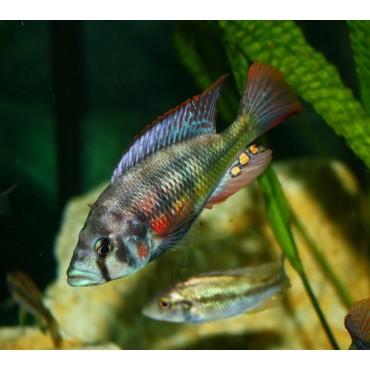 Paralabidochromis chilotes Makobe