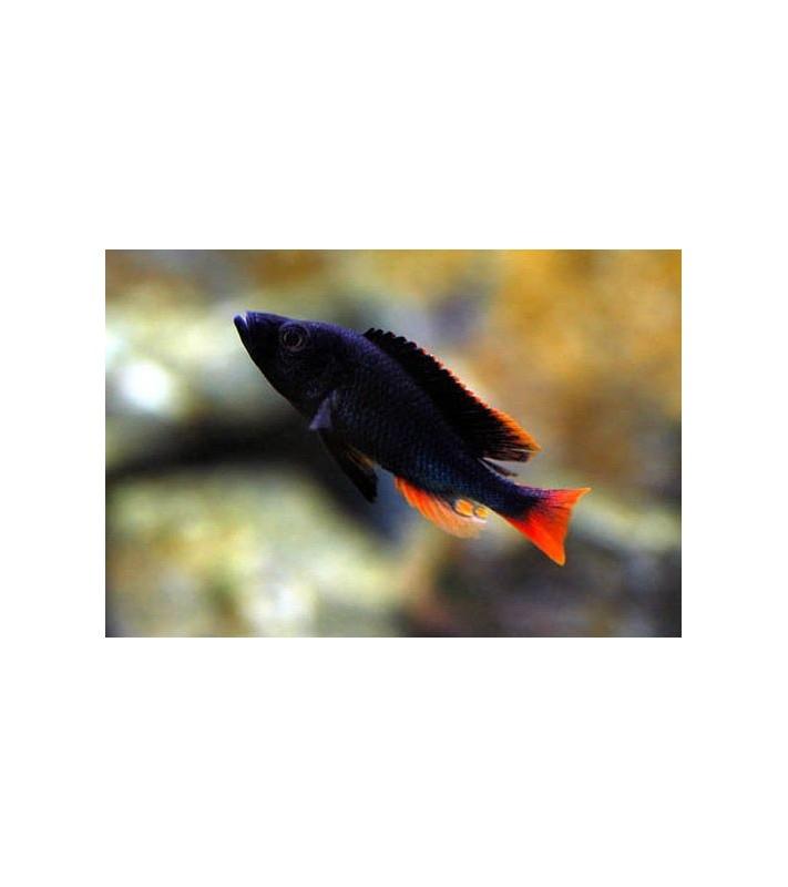 Yssichromis piceatus