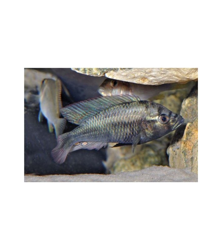 Haplochromis Ismailia Clearwater