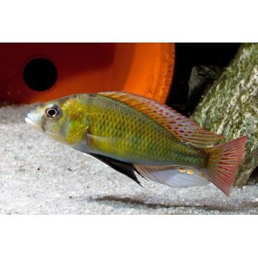 Haplochromis ishmaeli Batumi Bay