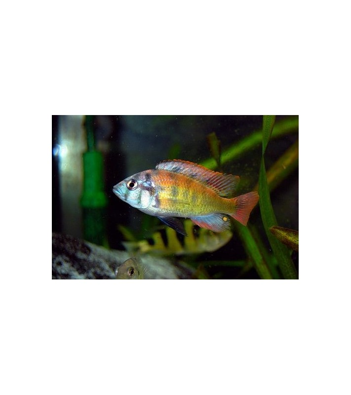 Haplochromis sp. 35 tomato