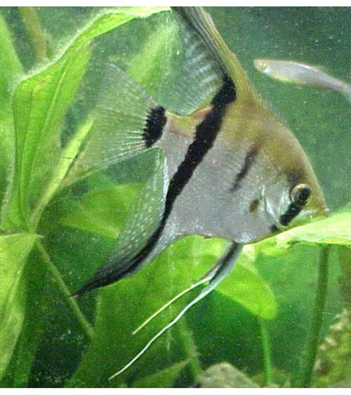 Pterophyllum scalare silver