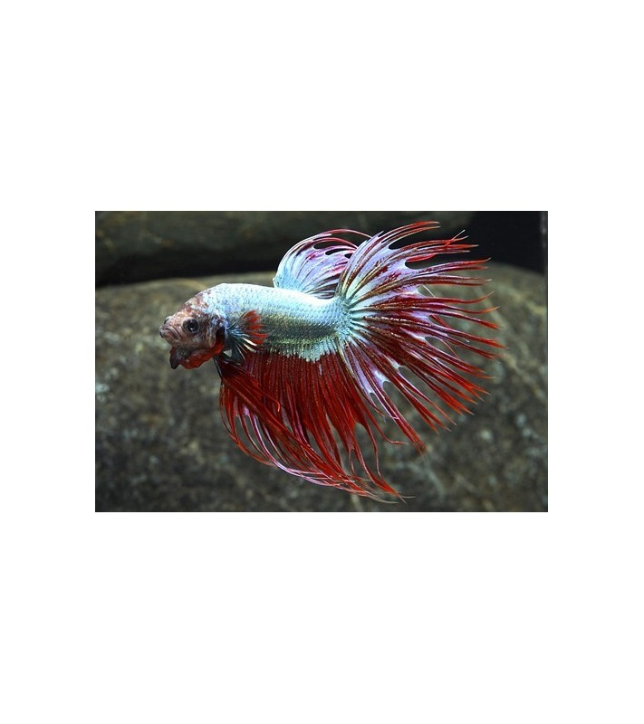 Betta splendens Crown Tail
