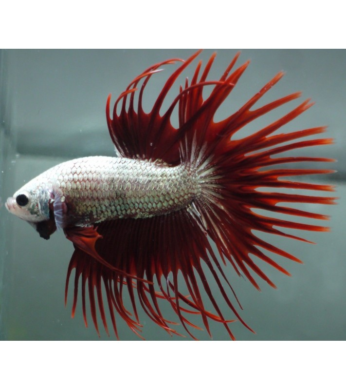 Betta splendens Red Milk Crown Tail