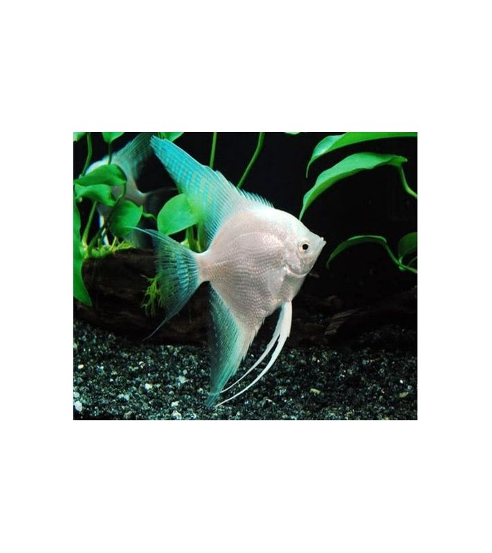 Pterophyllum scalare white pearlscale