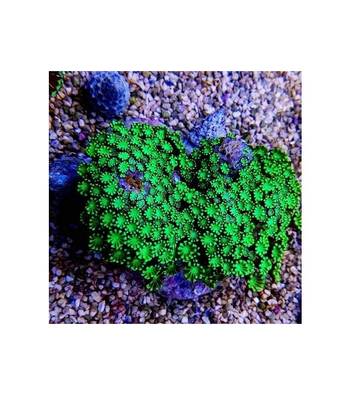 Goniopora sp. ultra green